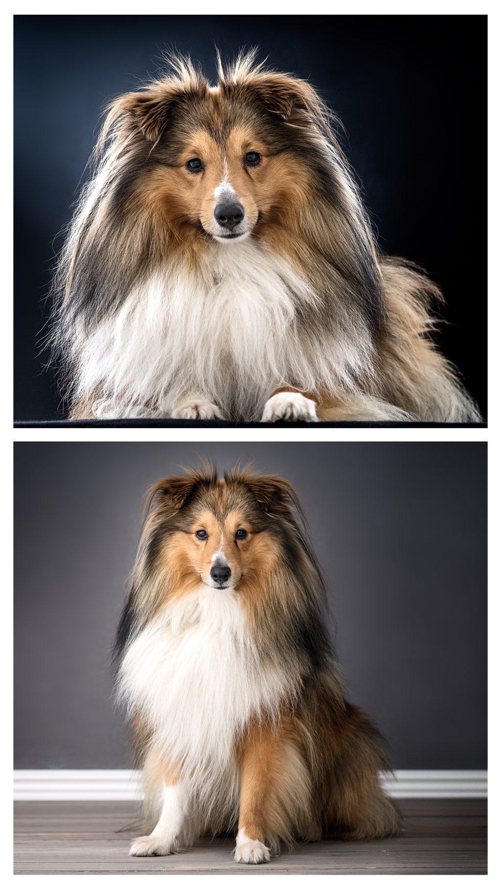 Bilder på hund i studio